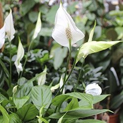 Stueplanter med blomster