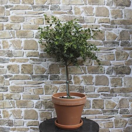 Eukalyptus træ
