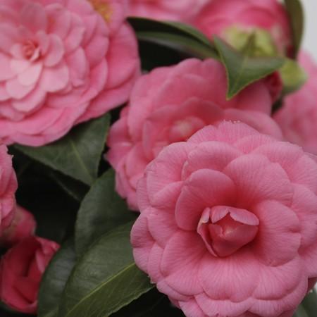 Kamelia pink