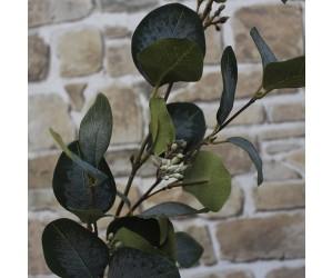 grøn eucalyptus