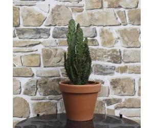 Kaktus Opuntia