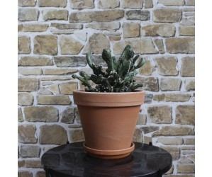 Kaktus Monville Spagazzini Monstrosa i skjuler