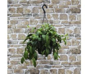 Ampelfakkel - Aeschynanthus marmoratus - Hængeplante