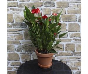 Anthurium Million Flower Red