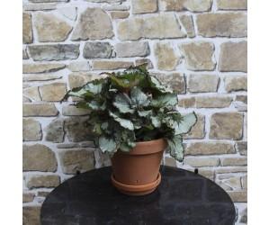Begonia Grøn Stueplante