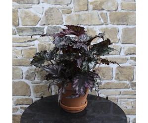Begonia lilla