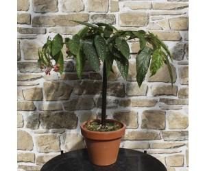 Begonia Rex Escargot