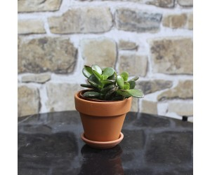 Crassula Minor Mini