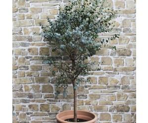 eucalyptus træ