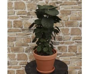 Aralie - Polyscias Scutellaria Fabian'