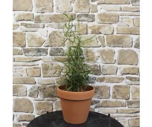 Stueplante