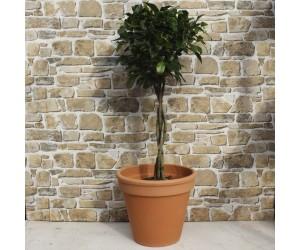 Ficus benjamina Nitida købes