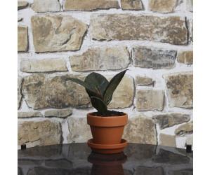 Gummiplante - Ficus Robusta