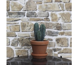 Kaktus Myrtillocactus Geometrizans - stue