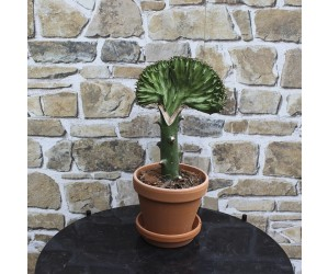 Podet kaktus grøn