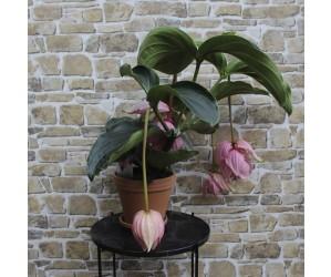 Medinilla Magnfica plante