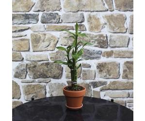 Bambus Mini