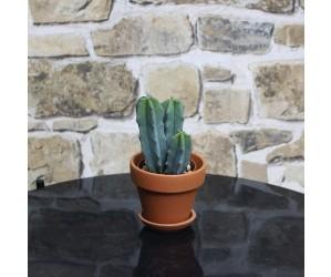 Kaktus Myrtillocactus geometrizans
