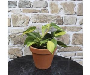 Hængeplante Philodendron Scandens