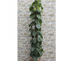 Philodendron Scandens stor