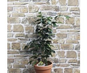 Stuebirk - Ficus benjamina 'Danielle' - Flere varianter