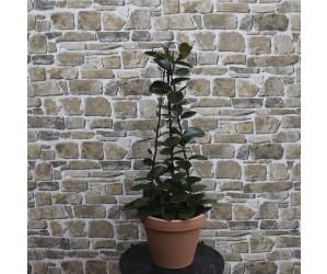 Hoya Australis på cylinder