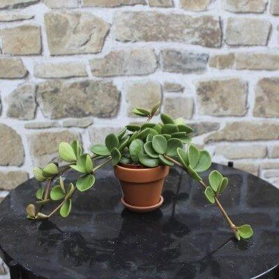 stueplanter som tåler skygge